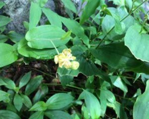 ホトトギスという花