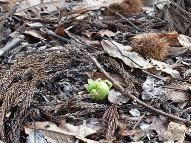 芽を出すフキノトウ