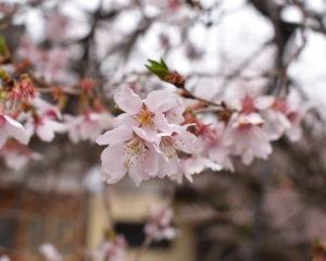 西徳寺の四季桜