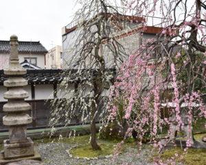 西徳寺のしだれ桜