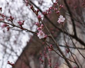 忘れた桜シリーズ1