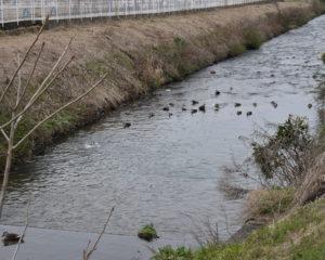 黒瀬川とカモ