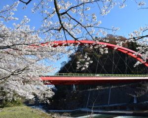 愛本橋と桜