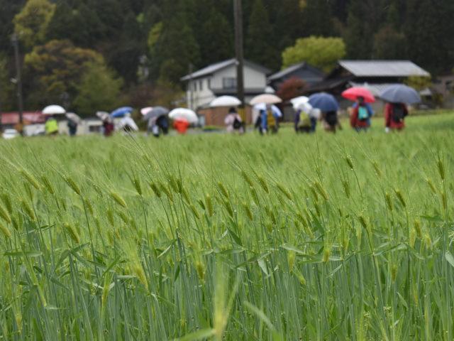 麦の穂の水滴もきれい