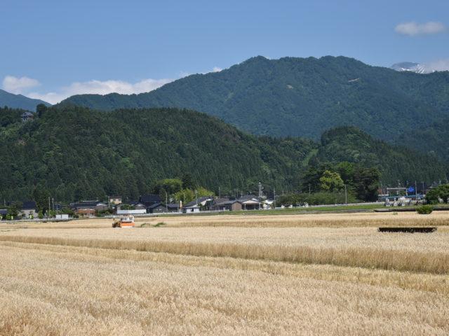 大麦と新緑の山