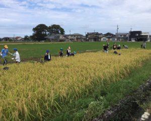 この田んぼから5,60kgの米が採れます