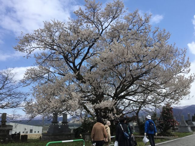 愛称は御旅屋桜(エドヒガンザクラ)