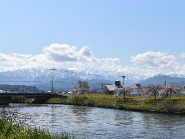 立山連峰と桜
