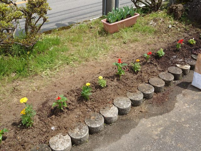 花壇に定植中
