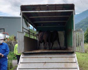 牛が動くとトラックが揺れる