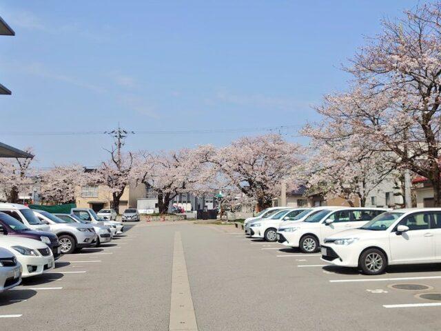 市役所の桜の様子